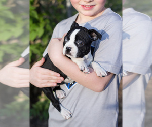 Boston Terrier Puppy for Sale in MILWAUKEE, Wisconsin USA