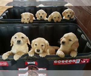 Golden Retriever Puppy for Sale in RAEFORD, North Carolina USA