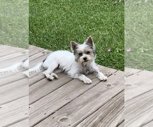 Biewer Terrier Puppy for sale in LULING, LA, USA