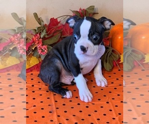 Boston Terrier Puppy for sale in ONTARIO, CA, USA