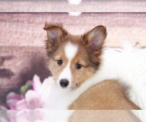 Shetland Sheepdog Dog for Adoption in MARIETTA, Georgia USA