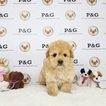 Maltipoo Puppy For Sale near 91780, Temple City, CA, USA