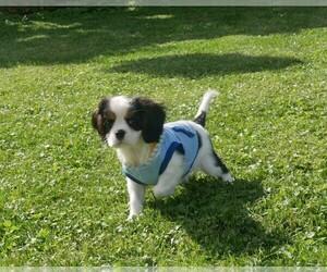 Cavalier King Charles Spaniel Puppy for sale in SCOTTVILLE, MI, USA