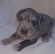Great Dane Puppy For Sale in NEW CAMBRIA, MO