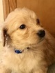 Goldendoodle Puppy For Sale in SPENCER, NY