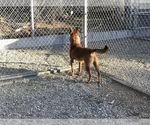 Small Photo #2 Belgian Malinois Puppy For Sale in VACAVILLE, CA, USA