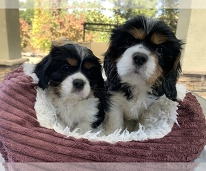 Cavalier King Charles Spaniel Puppy for Sale in SAN LUIS OBISPO, California USA
