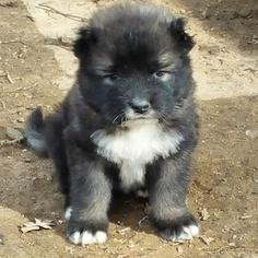 Caucasian Shepherd Dog Puppy For Sale in FRAZIER PARK, CA