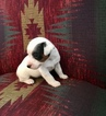 Jack Russell Terrier Puppy For Sale in REBERSBURG, PA, USA