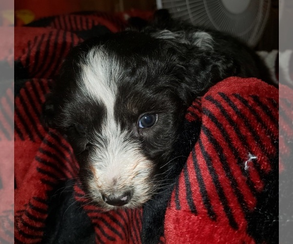 Medium Photo #8 Aussiedoodle Puppy For Sale in DERBY, IA, USA