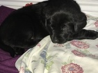 Labrador Retriever Puppy For Sale in COLORADO SPRINGS, CO