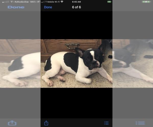 Medium Photo #9 French Bulldog Puppy For Sale in EL PASO, TX, USA