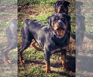 Mother of the Rottweiler puppies born on 08/30/2021