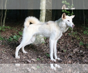 Wolf Hybrid Puppies for Sale in USA, Page 1 (10 per page