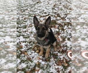 Collie-German Shepherd Dog Mix Puppy for Sale in LAPEER, Michigan USA