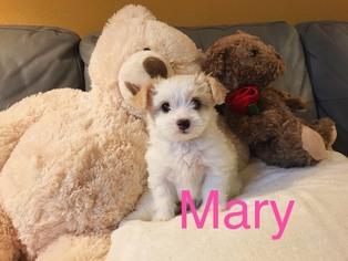 Maltipoo Mary Female ...