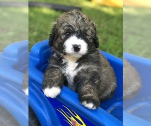 Bernedoodle Puppy for Sale in STEWARTSVILLE, New Jersey USA
