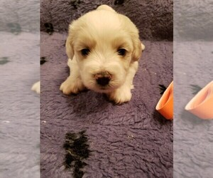 Coton de Tulear Dog for Adoption in DEATSVILLE, Alabama USA