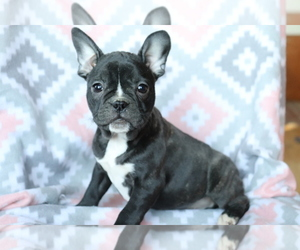 Faux Frenchbo Bulldog Puppy for sale in SHILOH, OH, USA