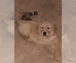 AKC Golden Retriever puppys