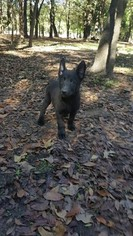 Belgian Malinois-Dutch Shepherd Dog Mix Puppy For Sale in TERRELL, TX, USA