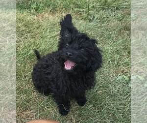 Poodle (Toy)-Yorkshire Terrier Mix Dog for Adoption in RICHMOND, Michigan USA