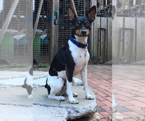 Rat Terrier Dog for Adoption in SOQUEL, California USA