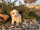 Maltese-Maltipoo Mix Puppy For Sale in CLOVIS, CA, USA