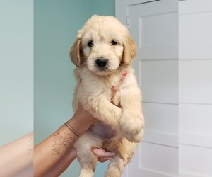 Goldendoodle Puppy for sale in WINSTON SALEM, NC, USA