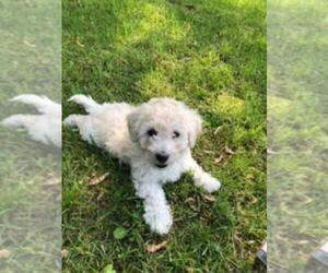 Poochon Puppy for Sale in ETNA GREEN, Indiana USA