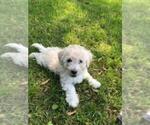 Puppy 0 Poochon