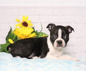 Boston Terrier Dog for Adoption in FREDERICKSBG, Ohio USA