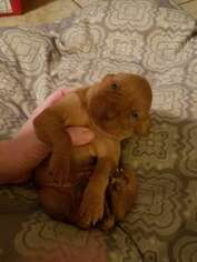 Vizsla Puppy For Sale in PRATTVILLE, AL, USA