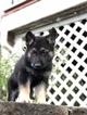 German Shepherd Dog Puppy For Sale in GOSHEN, NY, USA