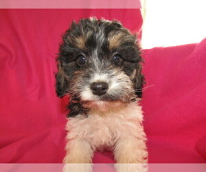 Cavapoo Puppy for sale in LIMA, OH, USA