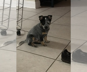 Australian Cattle Dog Puppy for sale in CHALMETTE, LA, USA