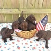 Labrador Retriever Puppy For Sale in MURFREESBORO, TN