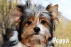 Biewer Terrier Puppy For Sale in MARYSVILLE, WA, USA
