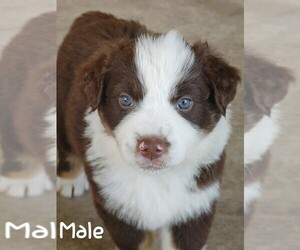 Australian Shepherd Puppy for sale in TAYLOR, TX, USA