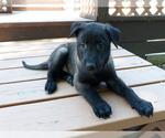 AKC Malinois Puppies