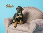 Doberman Pinscher Puppy For Sale in ONARGA, IL, USA