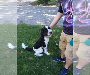 Sheepadoodle Puppy for sale in COVINGTON, IN, USA