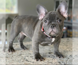 Mother of the French Bulldog puppies born on 08/21/2020