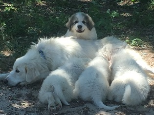Great Pyrenees Puppy For Sale in MURCHISON, TX