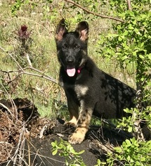 German Shepherd Dog Puppy For Sale in ELLERSLIE, GA