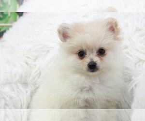 Pomeranian Dog for Adoption in MARIETTA, Georgia USA