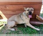 Small Photo #497 Collie-Dogue de Bordeaux Mix Puppy For Sale in Dallas, TX, USA