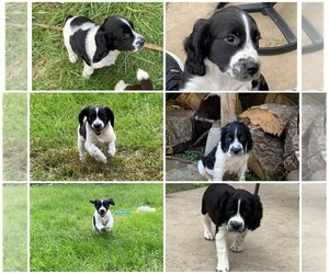 English Springer Spaniel Puppy for sale in LAKE MILLS, IA, USA