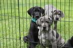AKC Black Great Dane puppy