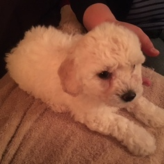 Bichon Frise Puppy For Sale in ORLANDO, FL